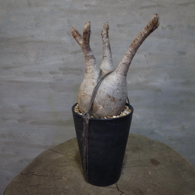 パキポディウム グラキリス  373 塊根植物 コーデックス 現地球