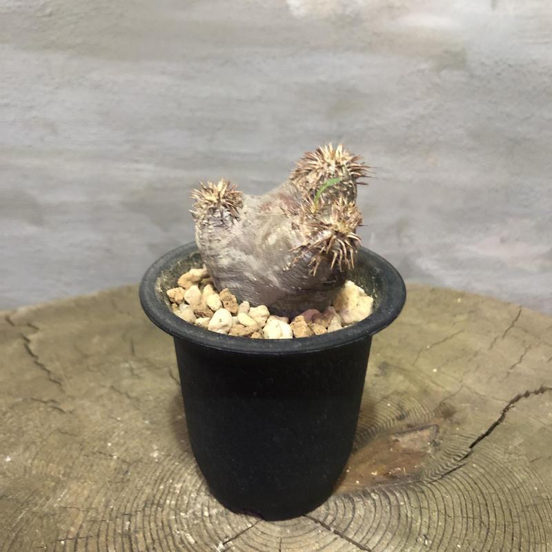 パキポディウム カクチペス 20 塊根植物 コーデックス 現地球