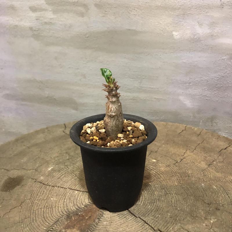 パキポディウム ウィンゾリー  2 実生 塊根植物 コーデックス