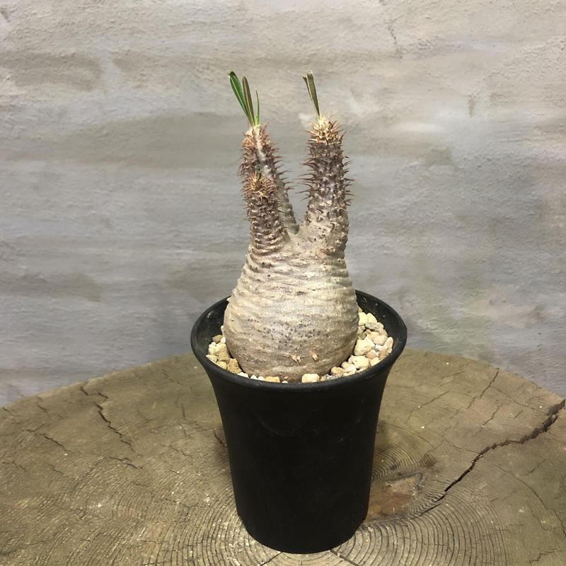 パキポディウム グラキリス  362 塊根植物 コーデックス 現地球