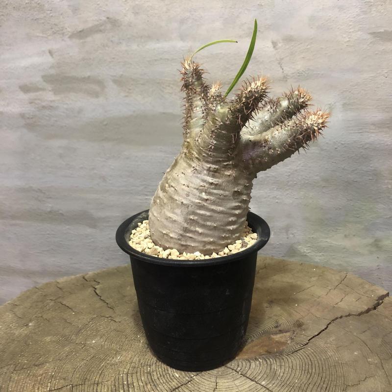 パキポディウム グラキリス  359 塊根植物 コーデックス 現地球