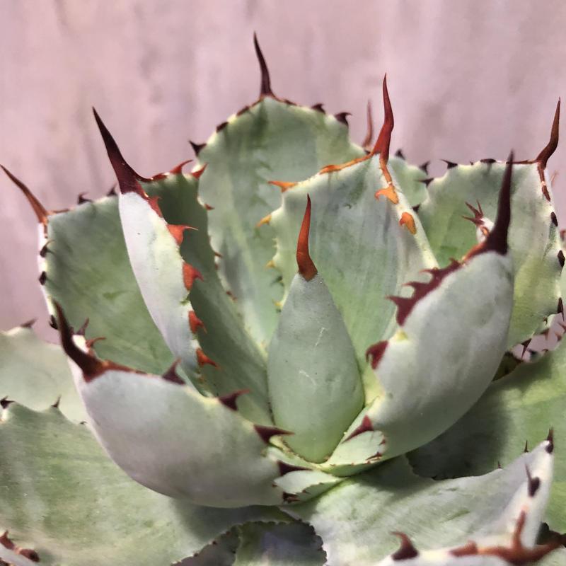 アガベ 吉祥冠 agave potatorum 1
