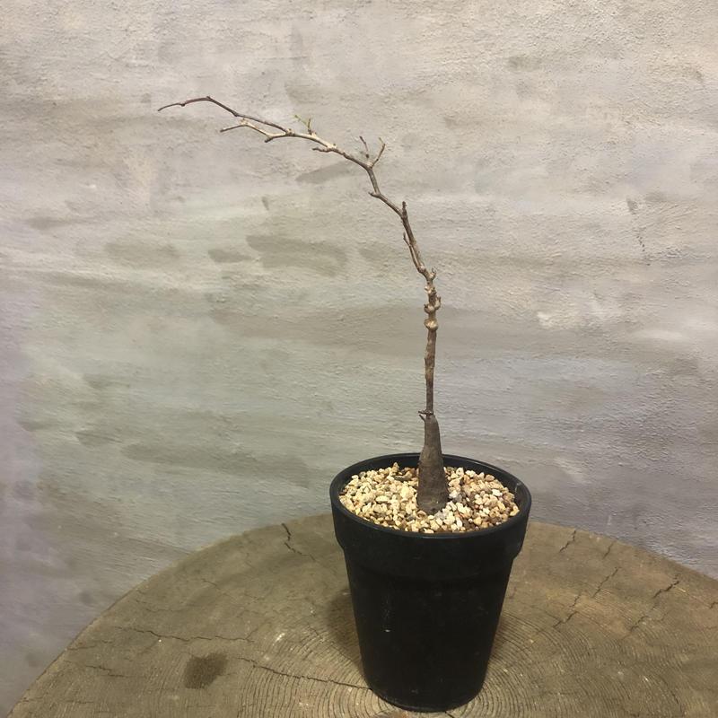 オペルクリカリア パキプス 実生株 19 塊根植物 コーデックス