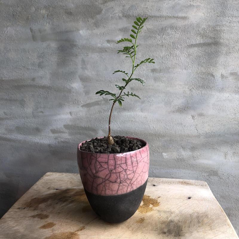 オペルクリカリア パキプス 実生株  21 DOMANI鉢 塊根植物 コーデックス