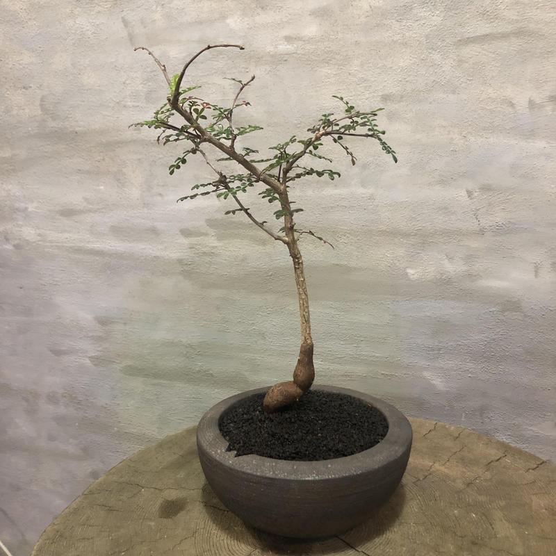 オペルクリカリア デカリー 実生 塊根植物 コーデックス