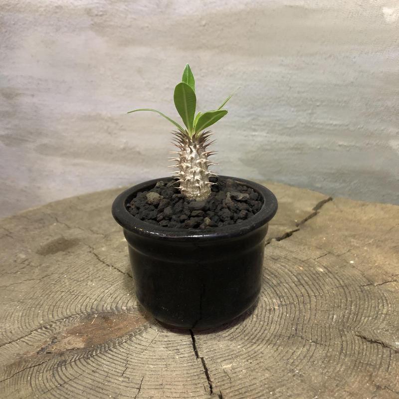 パキポディウム  マカイエンセ 34 実生 塊根植物 コーデックス