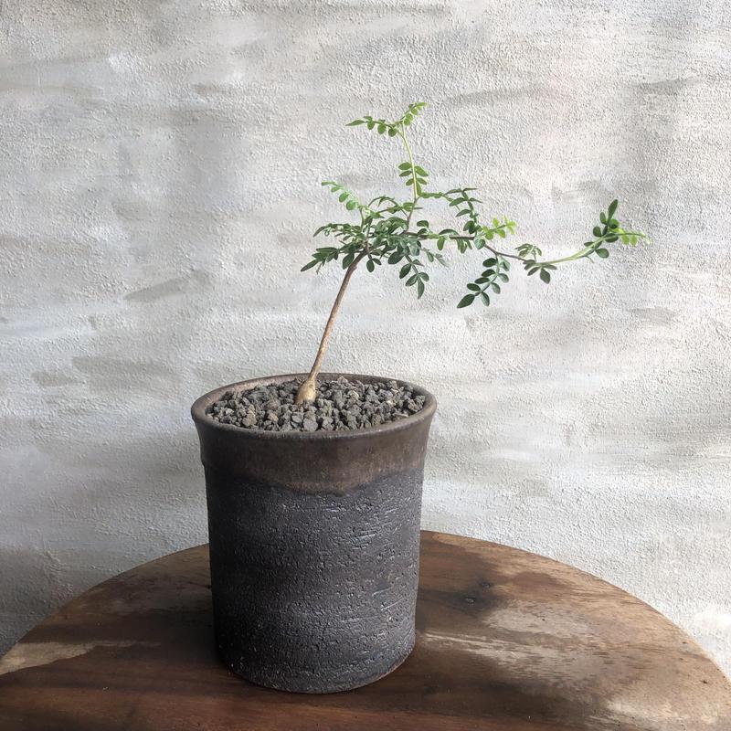 オペルクリカリア パキプス 実生株 36 塊根植物 コーデックス