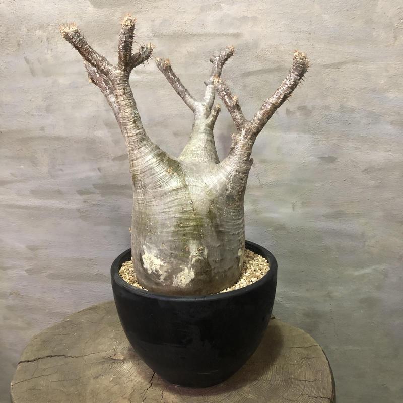 パキポディウム グラキリス  大株 358  塊根植物 コーデックス