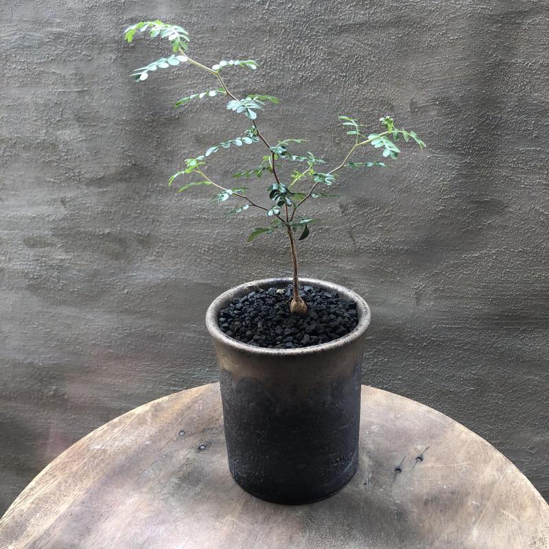 オペルクリカリア パキプス 実生株 35 塊根植物 コーデックス