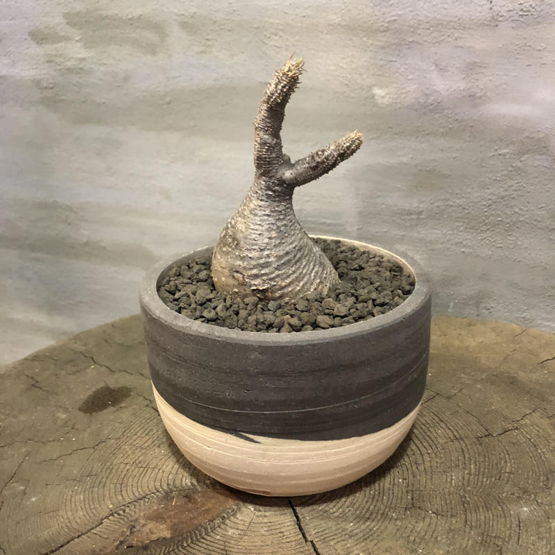 パキポディウム グラキリス  361 塊根植物 コーデックス 現地球 clyman ボウル Sサイズ