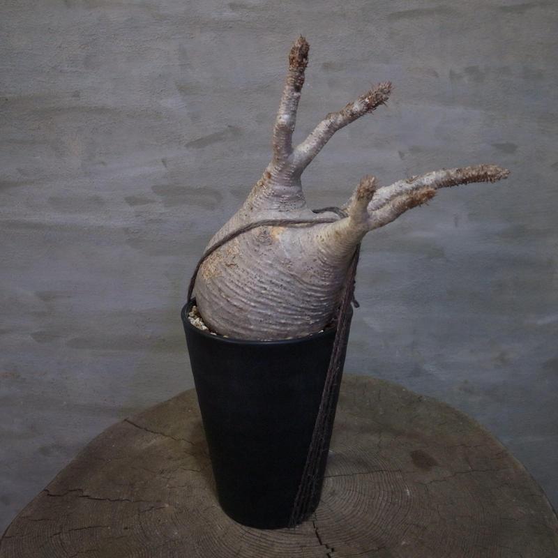 パキポディウム グラキリス  374 塊根植物 コーデックス 現地球