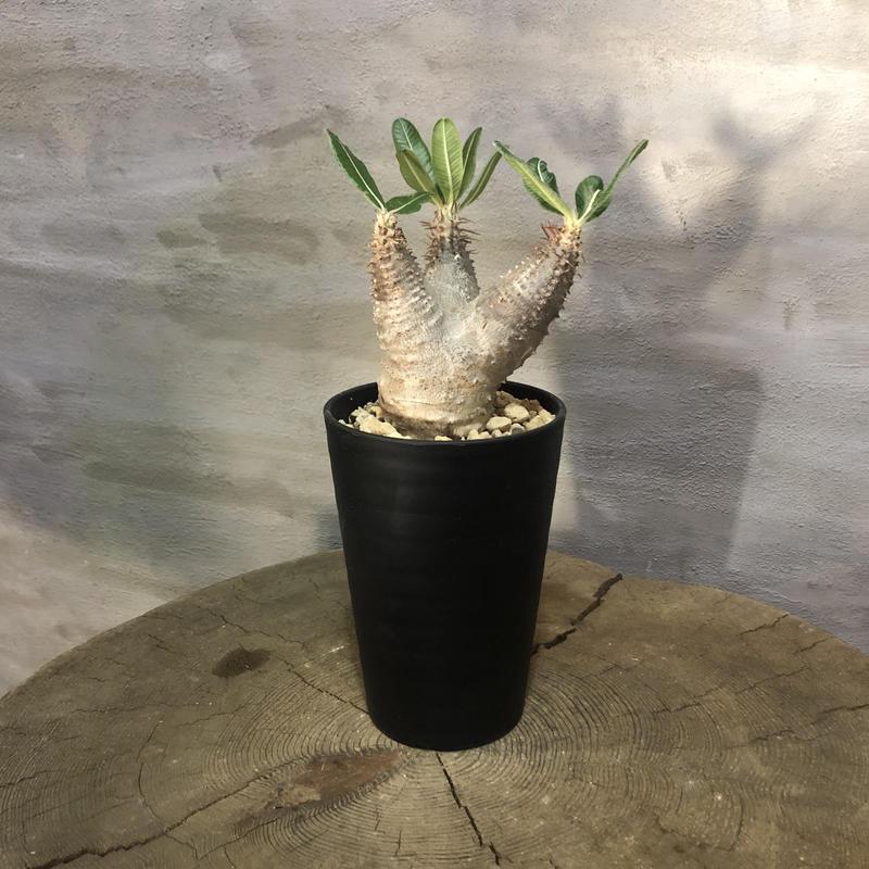 パキポディウム カクチペス 21 塊根植物 コーデックス 現地球