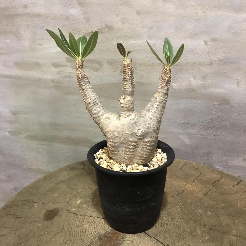 パキポディウム グラキリス  371 塊根植物 コーデックス 現地球