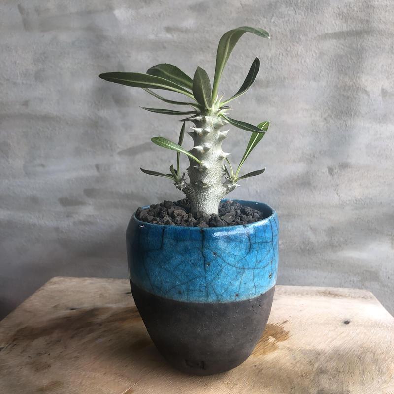 パキポディウム デンシフローラム DOMANI fes8 ターコイズ 塊根植物 コーデックス 現地球