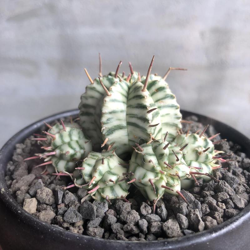 ユーフォルビア ミルフォルミス 斑入り 塊根植物 コーデックス
