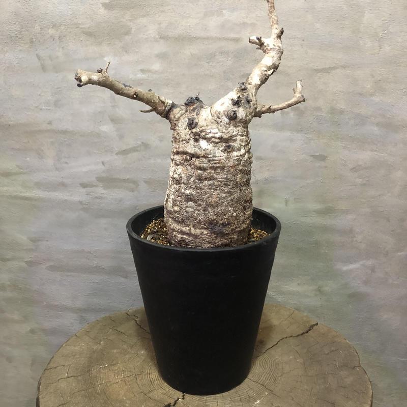 オペルクリカリア パキプス  20 塊根植物 コーデックス 現地球