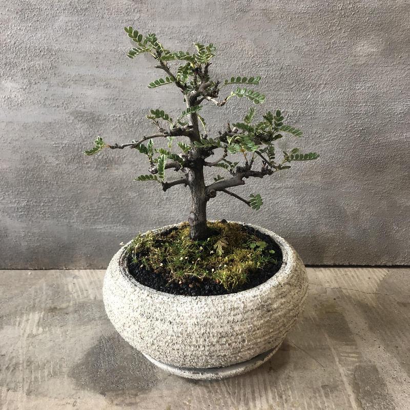 盆栽 磯山椒