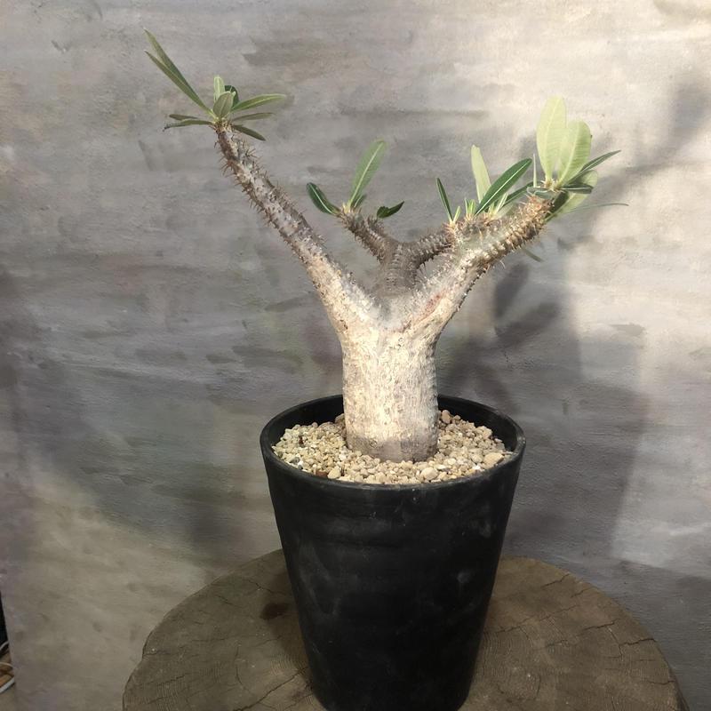 パキポディウム カクチペス 22 塊根植物 コーデックス 現地球