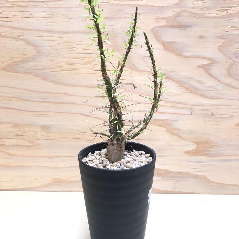 フォークイエリア プルプシー  5 塊根植物 コーデックス