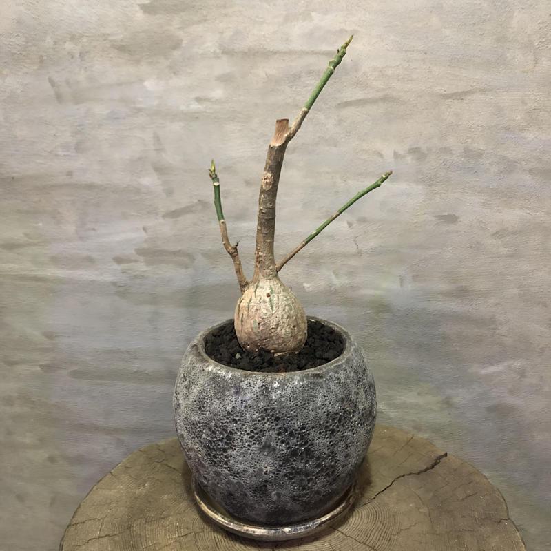 プセウドボンバックス エリプチカム  Pseudobombax ellipticum 20 塊根植物 コーデックス 現地球