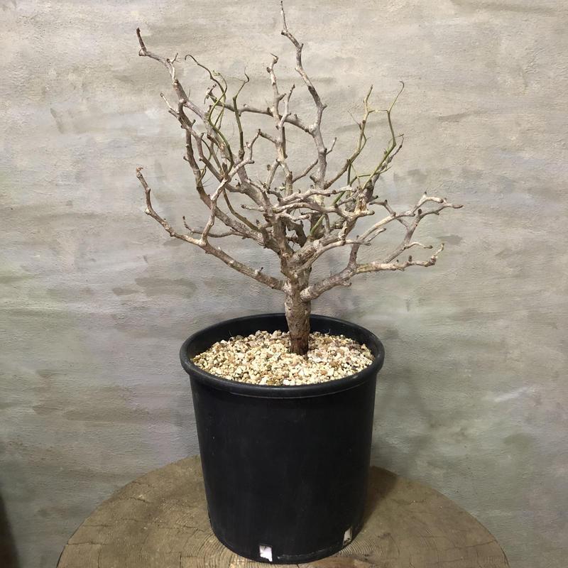センナ メディオナリス 30 潅木 塊根植物 コーデックス 現地球