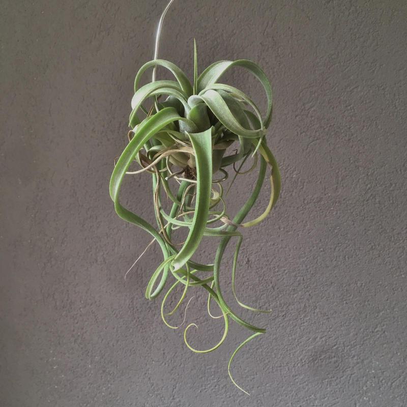 Tillandsia Lucille  ( ehlersiana ×  streptophylla)