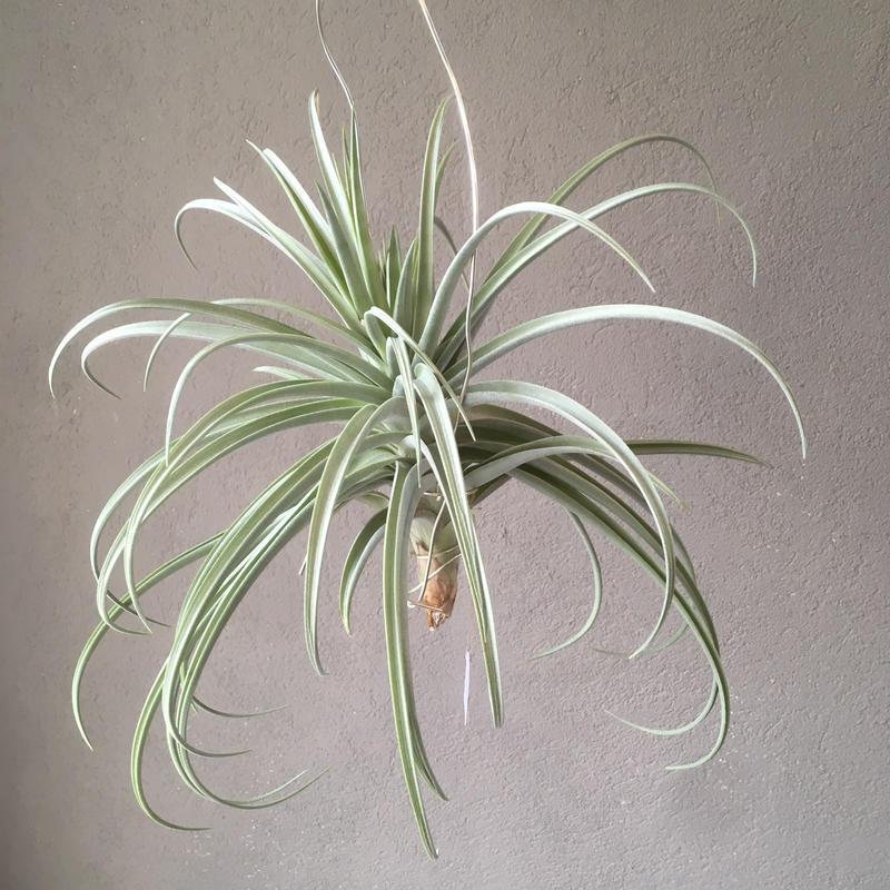 Tillandsia Lilac Spire    (duratii ×  stricta)
