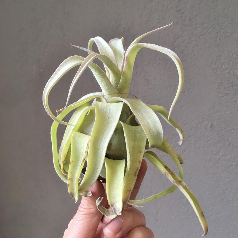 Tillandsia Naturally Gorgeous  (Streptophylla× abdita)