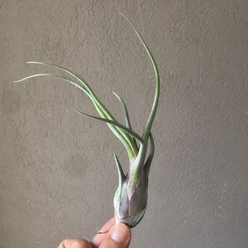 Tillandsia Purple Stripes ( Seleriana × Pseudobaileyi)