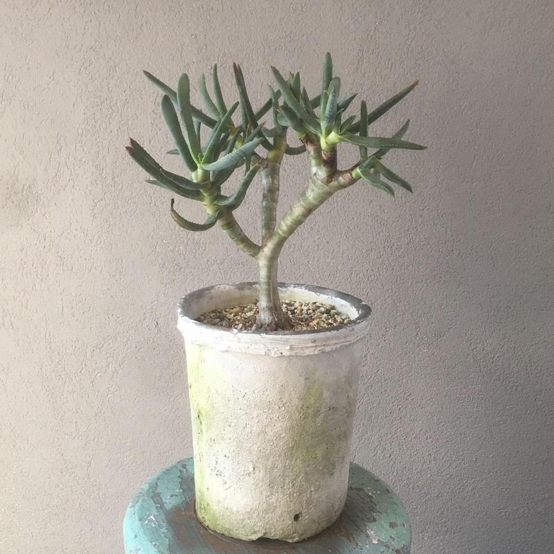 Aloe ramosissima  アロエ ラモシシマ