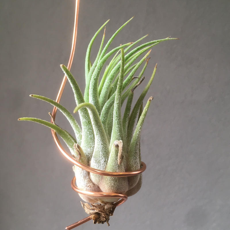 Tillandsia  Tina Parr (Seleriana × Ionantha)