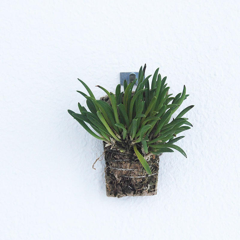 Barbosella dolichorhiza