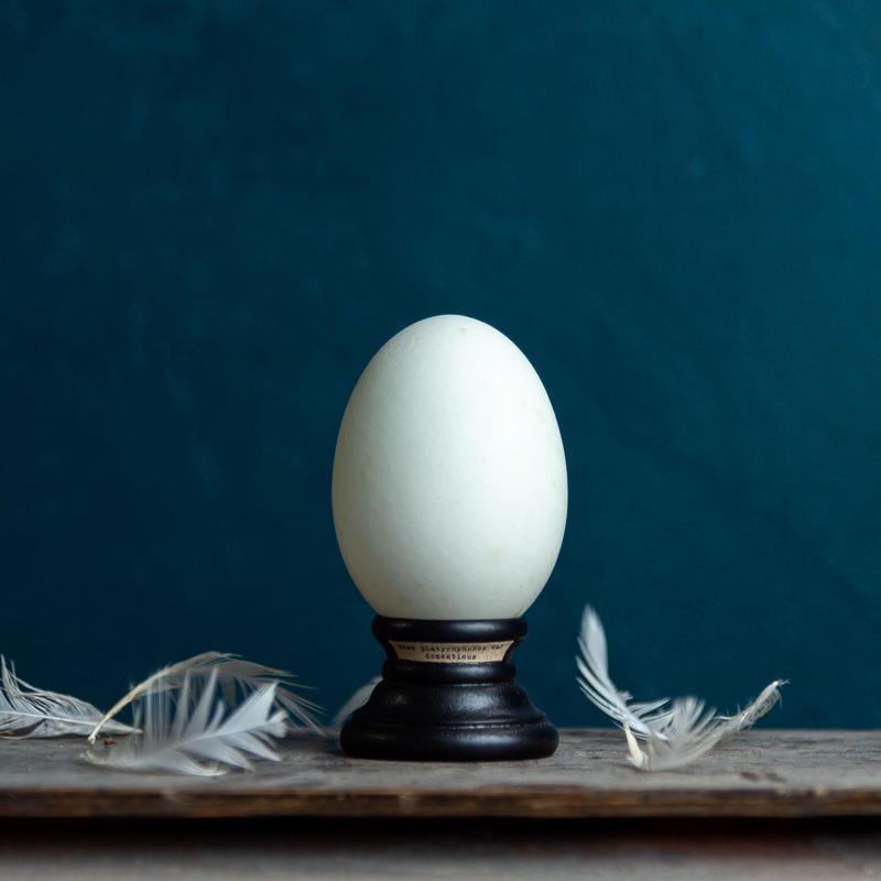 Bird egg specimen -アイガモの卵標本-