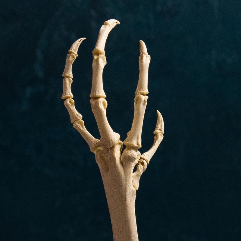 Bird skeletal specimen -鶏足の骨格標本- 左脚