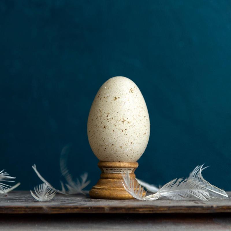 Bird egg specimen -七面鳥の卵標本-  B品特価