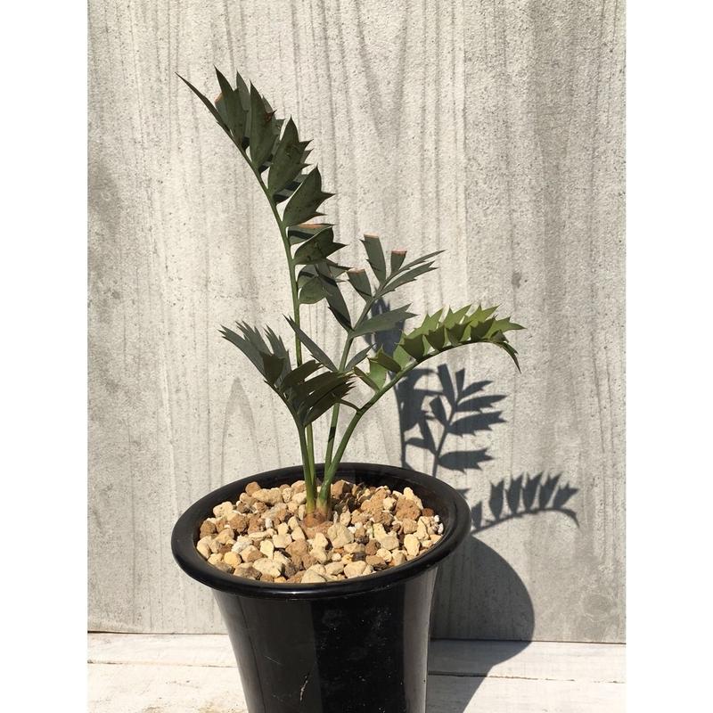 Encephalartos  horridus エンセファラルトス  ホリダス 実生苗