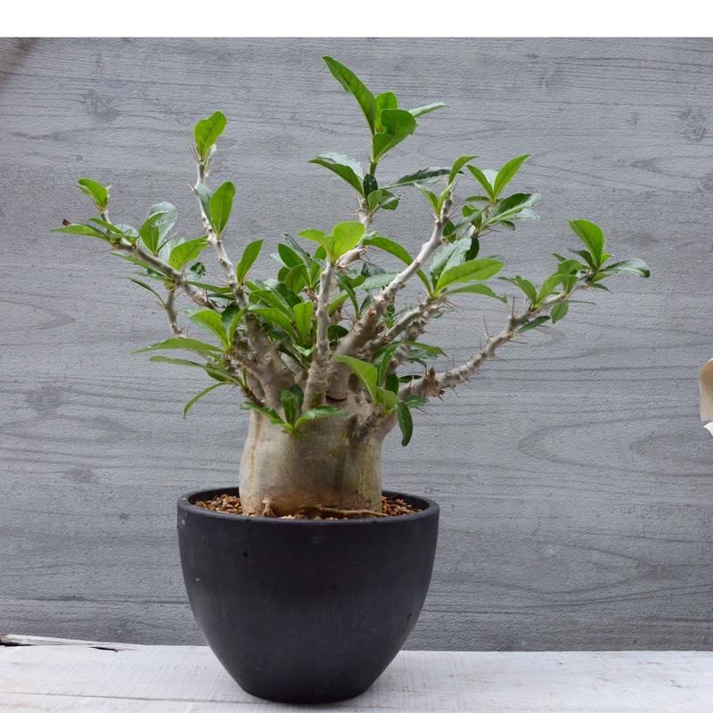 Pachypodium saundersii パキポディウム   サウンデルシー 白馬城
