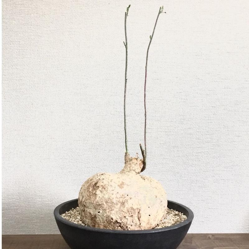 Adenia perrieri アデニア ペリエリ