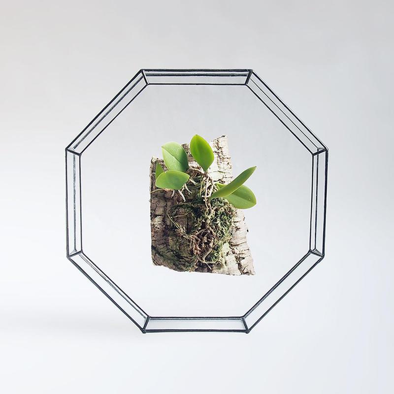 「ガラスと着生ラン」Meiracyllium wendlandii var. alba