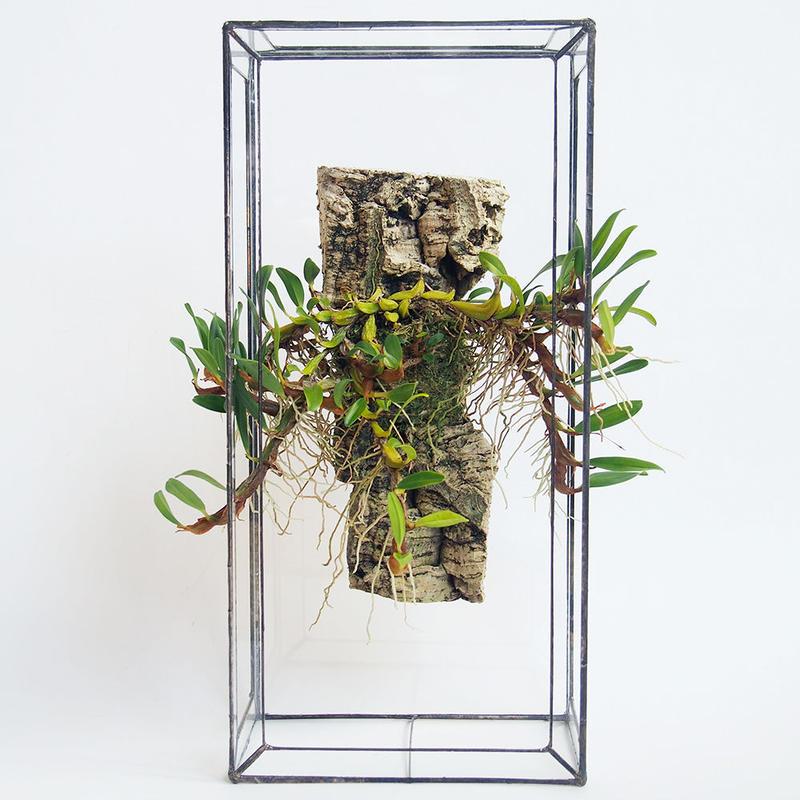 「ガラスと着生植物」Epigeneium nakaharae
