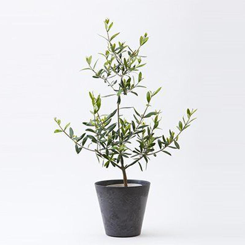 鑑賞用オリーブ鉢植え【シンプルでおしゃれな鉢植え】グリーンアドバイザーが厳選!!