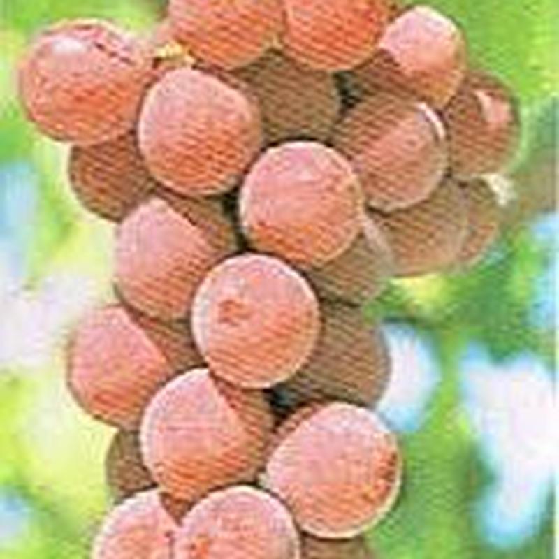 ぶどう 種なし シナノスマイル 3kg
