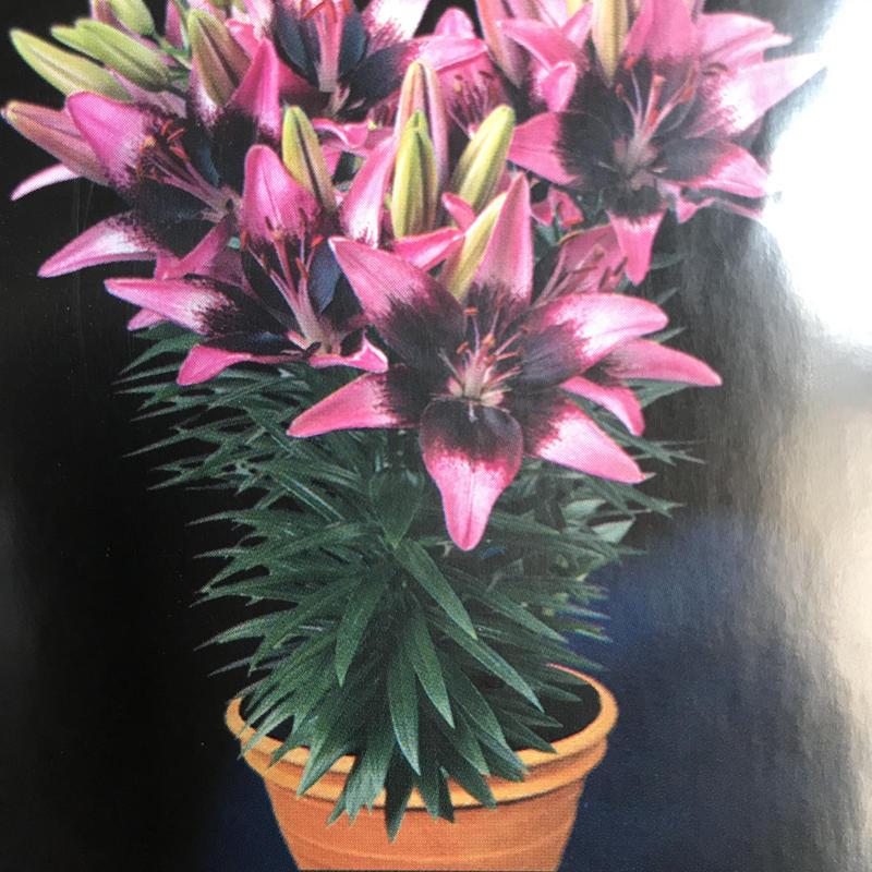 2019母の日向け商品 店舗引きとり専用 「pot Lilies」ラッピング込み