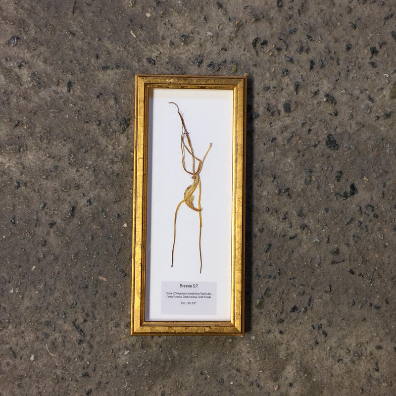 "GOLDEN WOOD FRAME ""Brassia S.P."""