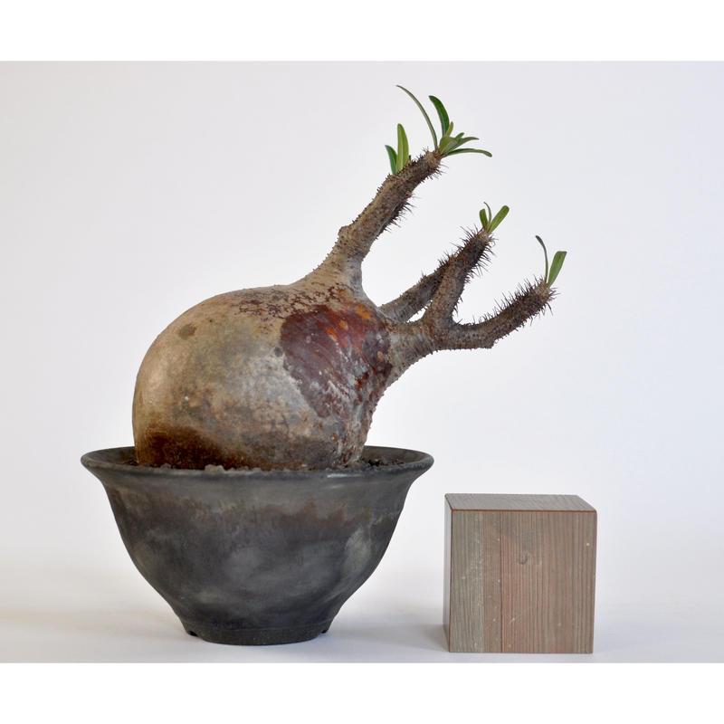 Pachypodium rosulatum var. gracilius 0106041 × Tomoharu Nakagawa植木鉢