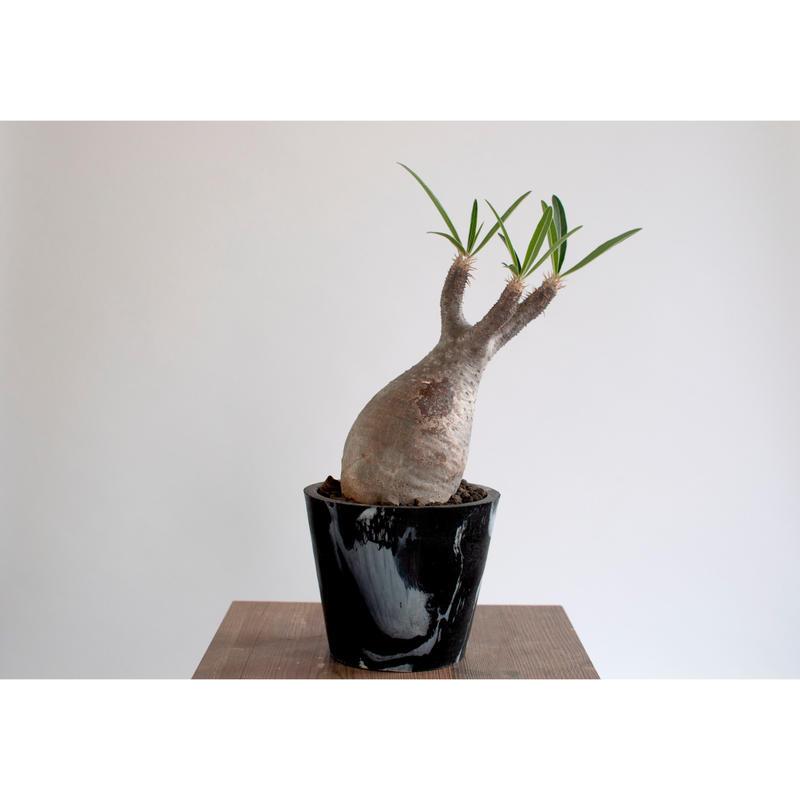 Pachypodium rosulatum var. gracilius   0105083