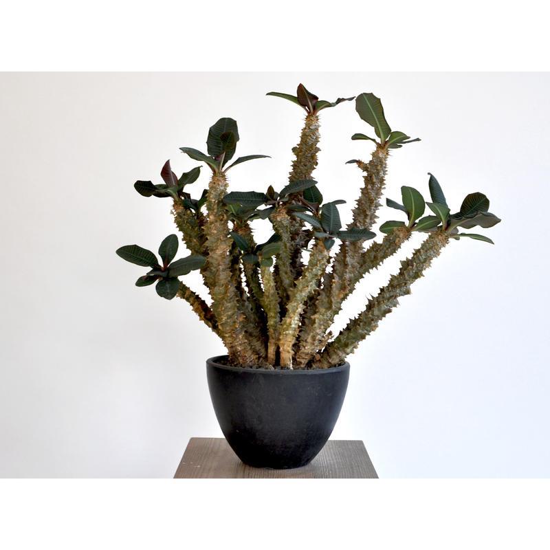 Euphorbia sp.nova Baraketa