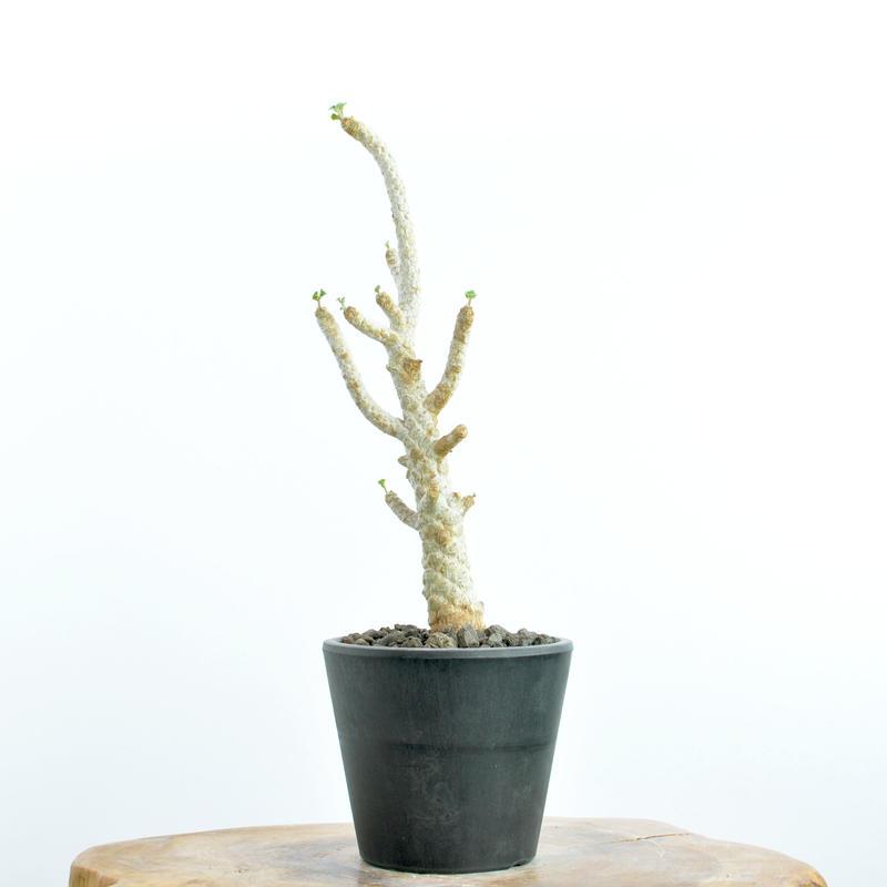 Dorstenia gypsophila