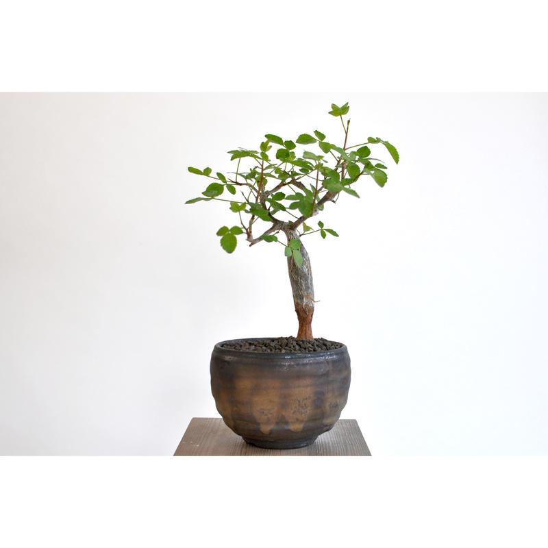 Bursera odorata × Tomoharu Nakagawa植木鉢