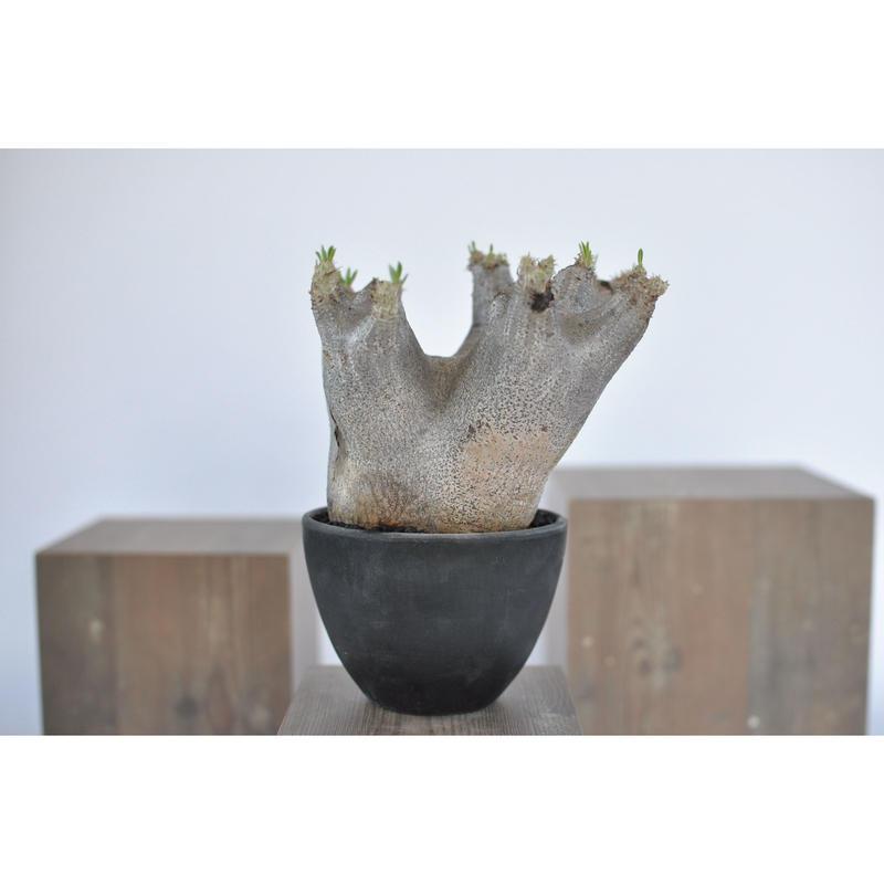 Pachypodium rosulatum var. inopinatum 3103183